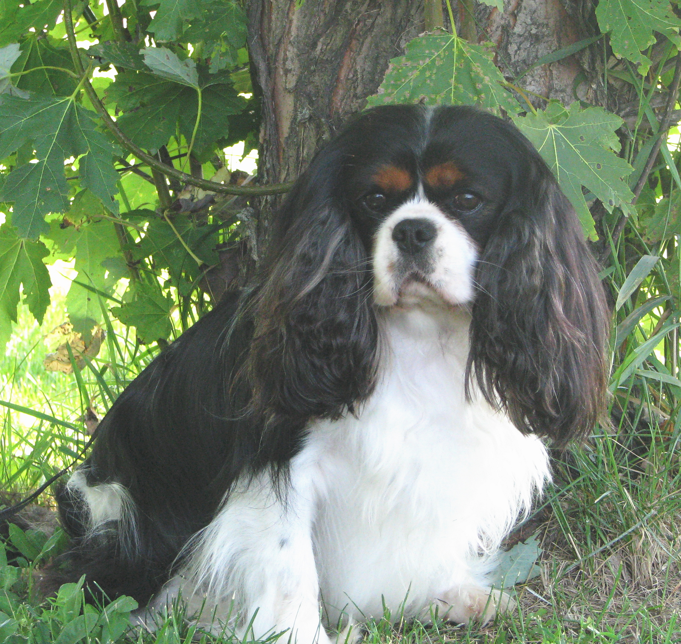 Authoritative king charles spaniel adult for sale